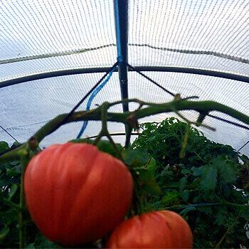 serre tunnel translucide pour la culture de plants de tomates