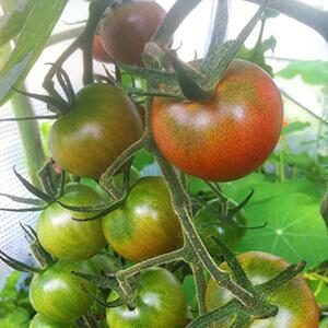 serre tunnel avec pied droit pour la culture de plants de tomates